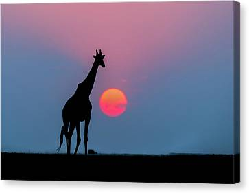 Giraffe At Sunset Chobe Np Botswana Canvas Print by Andrew Schoeman