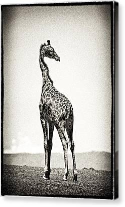 Giraffe Backward Glance Canvas Print