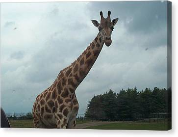 Canvas Print featuring the photograph Giraffe by Barbara McDevitt