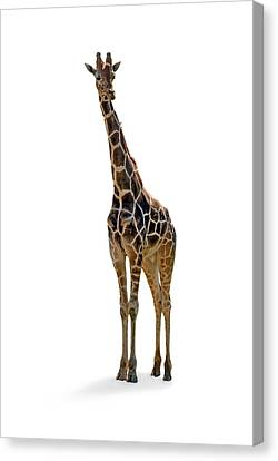 Canvas Print featuring the photograph Giraffe by Charles Beeler