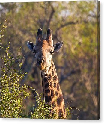 Giraffe Canvas Print by Craig Brown