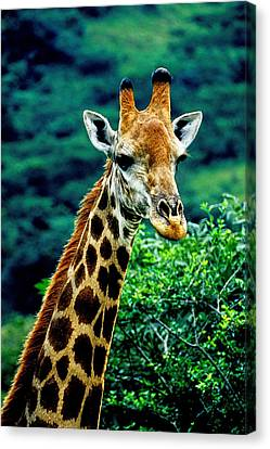 Canvas Print featuring the photograph Giraffe by Dennis Cox WorldViews