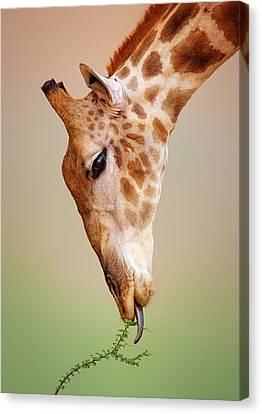 Lick Canvas Print - Giraffe Eating Close-up by Johan Swanepoel