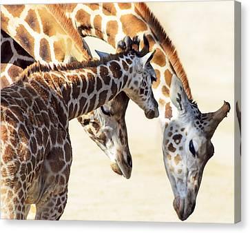 Giraffe Canvas Print - Giraffe Family by Camille Lopez