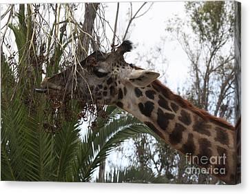Canvas Print featuring the photograph Giraffe Feeding by John Telfer