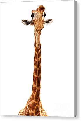Giraffe Head Isolate On White Canvas Print by Mythja  Photography
