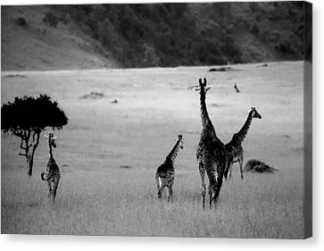 Giraffe In Black And White Canvas Print by Sebastian Musial