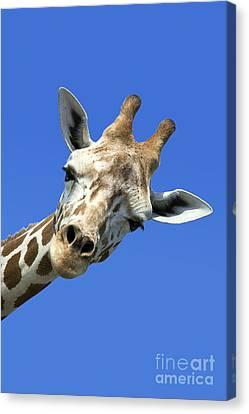 Feeding Canvas Print - Giraffe by John Greim