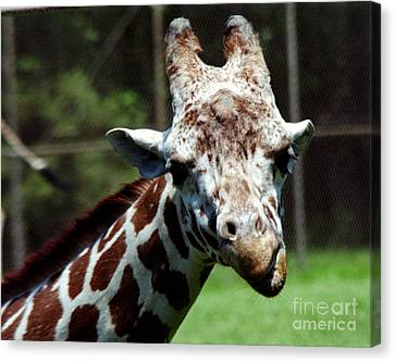 Canvas Print featuring the photograph Giraffe Looking by Tom Brickhouse