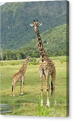 Giraffe Mother And Calftanzania Canvas Print by Thomas Marent
