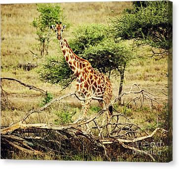 Giraffe On African Savanna Canvas Print by Michal Bednarek