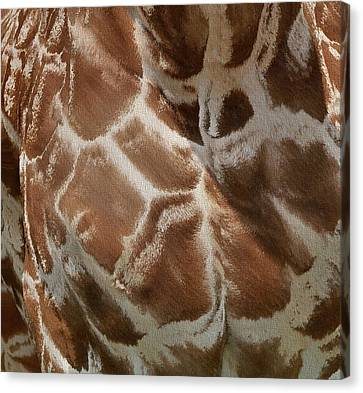 Giraffe Patterns Canvas Print by Dan Sproul