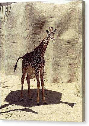 Canvas Print featuring the photograph Giraffe by Philomena Zito