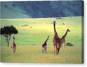 Giraffe Canvas Print by Sebastian Musial