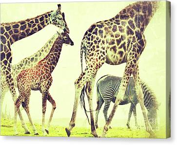 Giraffes And A Zebra In The Mist Canvas Print by Nick  Biemans