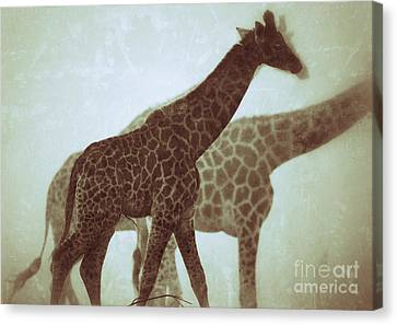 Canvas Print featuring the photograph Giraffes In The Mist by Nick  Biemans