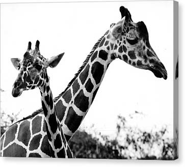 Giraffes Canvas Print by Retro Images Archive