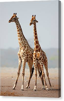 Giraffes Standing Together Canvas Print by Johan Swanepoel