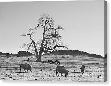 Give Me A Home Where The Buffalo Roam Bw Canvas Print by James BO  Insogna