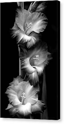 Gladiola Flowers Evening Light Black And White Canvas Print