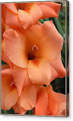 Gladiola In Peach Canvas Print by Dora Sofia Caputo Photographic Art and Design