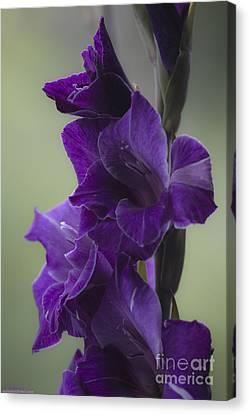 Gladiolus Flower . Viewed 187 Times . Canvas Print by  Andrzej Goszcz