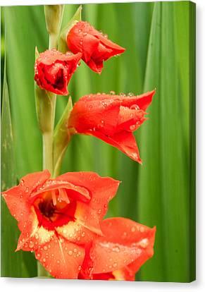 Gladiolus With Raindrops 1 Canvas Print by Douglas Barnett