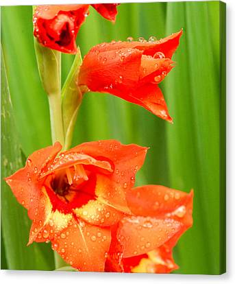 Gladiolus With Raindrops 2 Canvas Print by Douglas Barnett