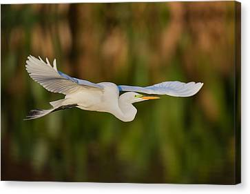 Gliding Great Egret Canvas Print by Andres Leon