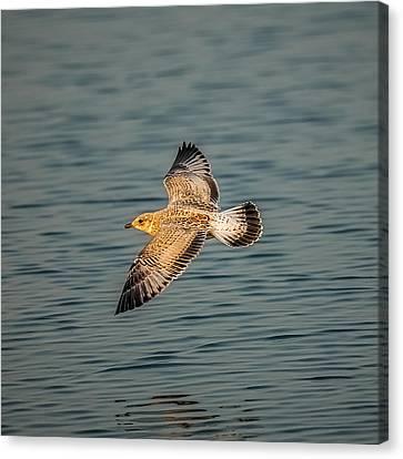 Gliding Gull Canvas Print by Paul Freidlund