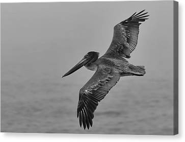 Gliding Pelican In Black And White Canvas Print by Sebastian Musial
