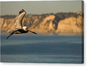 Sea Birds Canvas Print - Gliding Pelican by Sebastian Musial
