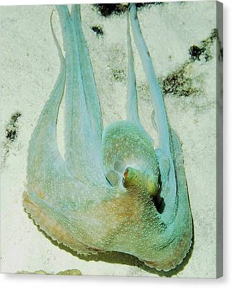 Gliding Reef Octopus Canvas Print by Amy McDaniel