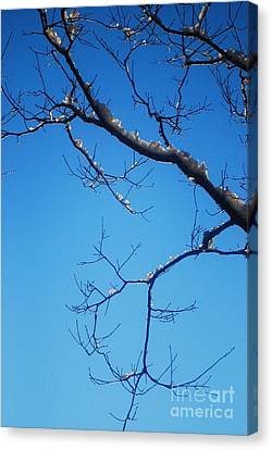 Glimmering Branches Canvas Print by Susan Hernandez