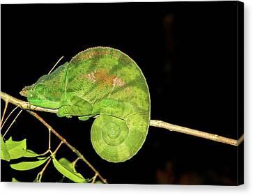 Globe-horned Chameleon Calumma Globifer Canvas Print by Photostock-israel