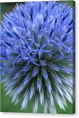 Globe Thistle Canvas Print by Juergen Roth