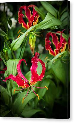 Crimson Lilies Canvas Print - Gloriosa Lily Flame Lily Fire Lily   by Rich Franco