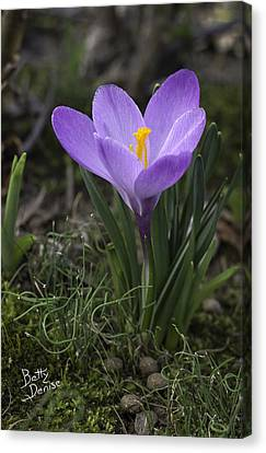 Canvas Print featuring the photograph Glorious Crocus by Betty Denise