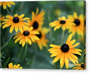 Glorious Garden Of Black Eyed Susans Canvas Print by Sabrina L Ryan