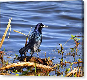 Glorious Grackle Canvas Print by Al Powell Photography USA
