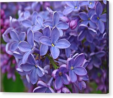 Glorious Lilac Bloom Canvas Print by Juergen Roth