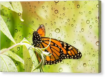 Glorious Monarch 3 Canvas Print by Rima Biswas