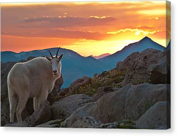 Glorious Mountain Goat Sunset Canvas Print by Mike Berenson