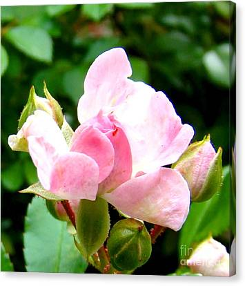 Glorious Rosebud Canvas Print by Leea Baltes