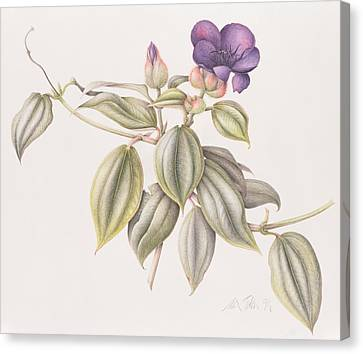 Glory Flower Tibouchina Urvilleana 1999 Wc On Paper Canvas Print by Margaret Ann Eden