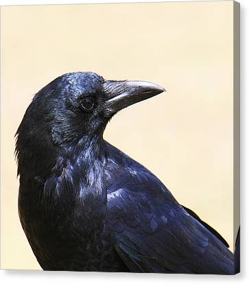 Glossy Crow Canvas Print by Bob and Jan Shriner