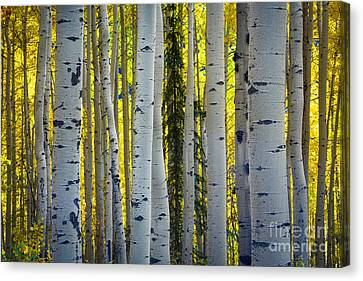 Glowing Aspens Canvas Print by Inge Johnsson
