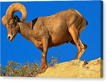 Glowing Big Horn Sheep Canvas Print by Adam Jewell