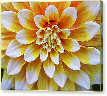 Glowing Dahlia Canvas Print by Dora Sofia Caputo Photographic Art and Design