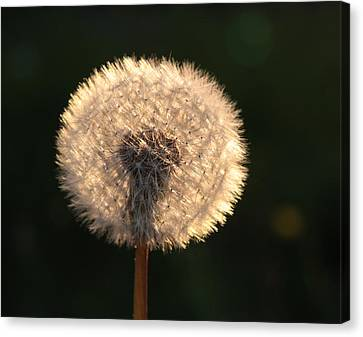 Glowing Dandelion Clock Canvas Print